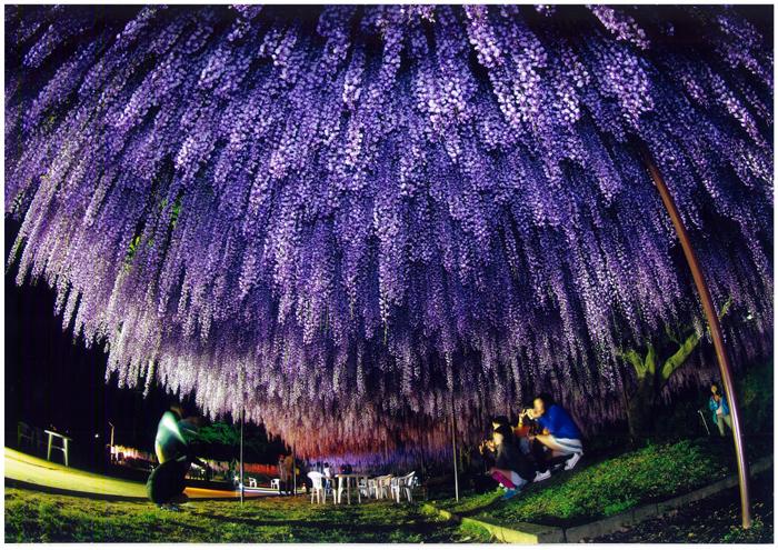 準特選 「圧倒的な藤花の下で」 前川敏夫