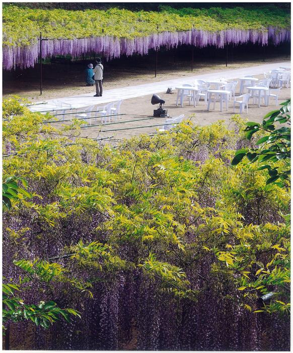 佳 作 「満開の藤の庭」 高橋順二